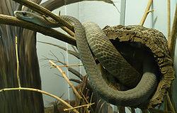 Un mamba noir, dans un terrarium