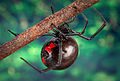 Black widow spider 9854 lores.jpg