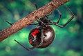 Black widow spider 9854 lores.jpg