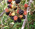 Blackberry fruits08.jpg