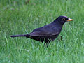 Blackbird in Madrid (Spain) 02.jpg