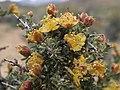 Blackbrush, Coleogyne ramosissima (31693954385).jpg