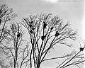 Blauwe reigers in het Vondelpark, Bestanddeelnr 910-1768.jpg