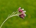 Bloem van Rozenkransje (Antennaria dioica). Locatie, Tuinreservaat Jonkervallei 02.jpg