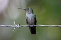 Blue-chested Hummingbird.jpg
