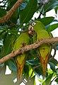 Blue-crowned Parakeets (Aratinga acuticaudata) (30818194454).jpg