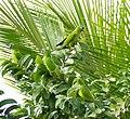 Blue-crowned Parakeets (Aratinga acuticaudata) - Flickr - berniedup.jpg