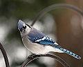 Blue Jay (4205227030).jpg