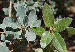 Blue and Live oak leaf clusters.jpg