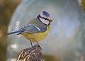 Blue tit (26525351038).jpg