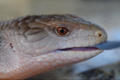 Blue tongue skink by Rowan Wolf.png