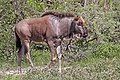 Blue wildebeest (Connochaetes taurinus taurinus) calf.jpg