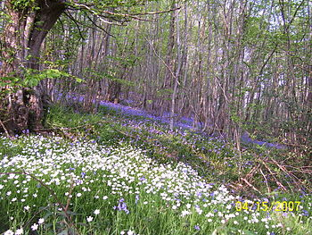 English: Bluebell wood