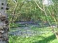 Bluebells, Finemere Wood - geograph.org.uk - 420343.jpg