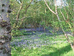 English: Bluebells, Finemere Wood Finemere Woo...