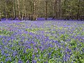 Bluebells (Hyacinthoides non-scripta), Box Wood, Walkern (27426883370).jpg
