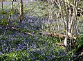 Bluebells at One Tree Hill near Sevenoaks - geograph.org.uk - 776717.jpg