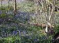 Bluebells at One Tree Hill near Sevenoaks - geograph.org.uk - 776717.jpg