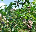Blueberries on bushes in New Jersey.JPG