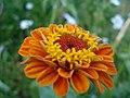 Blume aus dem Dorf GUDURA.JPG