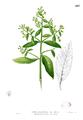 Blumea balsamifera Blanco2.403.png