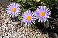 Blumen-Wucherblume-Margarete.jpg