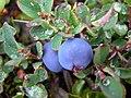 Bog Blue Berry Vaccinium uliginosum (1180233082).jpg