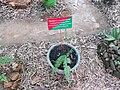 Bolbitis asplenifolia at Periya (1).jpg