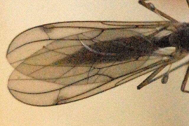 Bolitophila cinerea wing detail