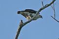 Bonelli's Eagle (Aquila fasciata).jpg