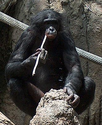 "A bonobo ""fishing"" for termites, an example of incomplete/""untrue"" opposition BonoboFishing02 cropped.jpeg"