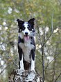 Border-collie-665162 1280 (20510303271).jpg