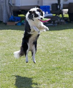 Border Collie discdog jump.jpg