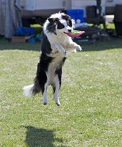 http://upload.wikimedia.org/wikipedia/commons/thumb/0/00/Border_Collie_discdog_jump.jpg/250px-Border_Collie_discdog_jump.jpg