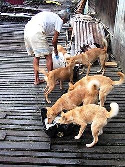 250px-Borneo_dogs_feeding dans LOUP