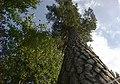 Borovice - panoramio.jpg