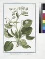Borrago, floribus albis - Borragine col fiore bianco - Borrache (NYPL b14444147-1125051).tiff