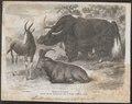 Bos grunniens - 1871 - Print - Iconographia Zoologica - Special Collections University of Amsterdam - UBA01 IZ21200259.tif
