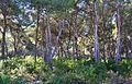 Bosc de pins per la zona del Portitxtol, Xàbia.JPG