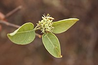 Boscia senegalensis MS 2394