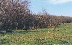 Bosque de acacia negra