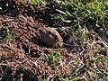 Botta's pocket gopher poking head out of burrow - 4.jpeg