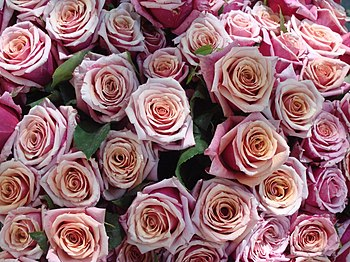 English: rose bunch, Rosa sp. cultivars, flowe...