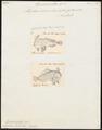 Brachionichthys laevis - 1700-1880 - Print - Iconographia Zoologica - Special Collections University of Amsterdam - UBA01 IZ13600195.tif