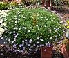 Brachyscome iberidifolia1.jpg