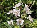 Bramble (Rubus fruticosus) - geograph.org.uk - 479475.jpg
