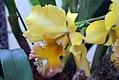 Brassolaeliocattleya malworth 1zz.jpg