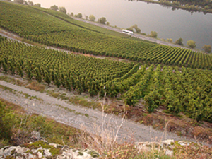 Moselle wine - The Juffer vineyard in the German village of Brauneberg, with river Mosel/Moselle in the background.