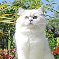 British Longhair Silver Shaded Point - Belle Ayr Cattery.jpg
