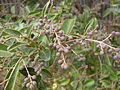 Broad-leaf privet in fruit (3438117006).jpg